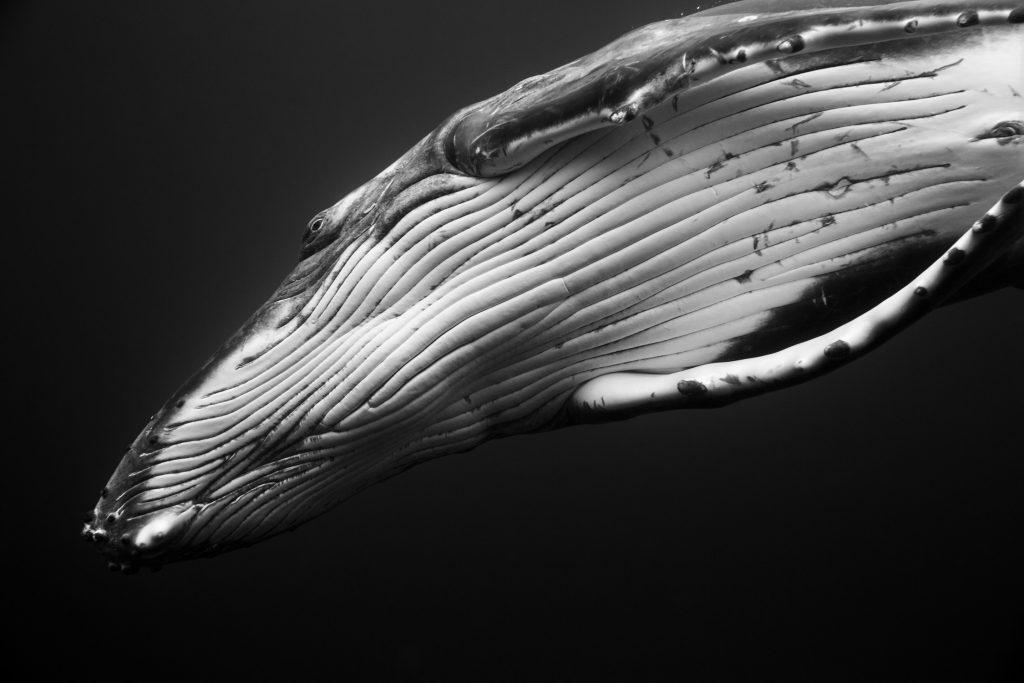 black and white humpack whale7