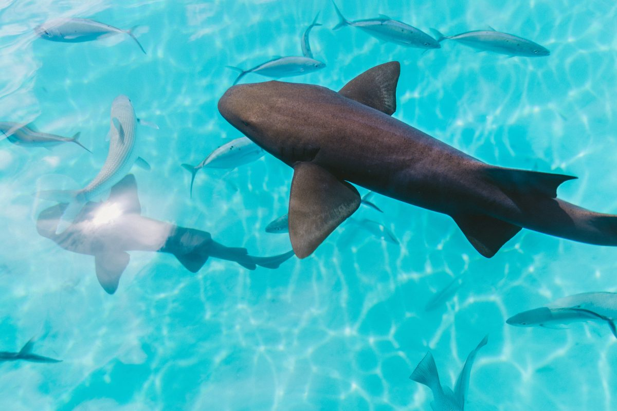 facts about nurse shark