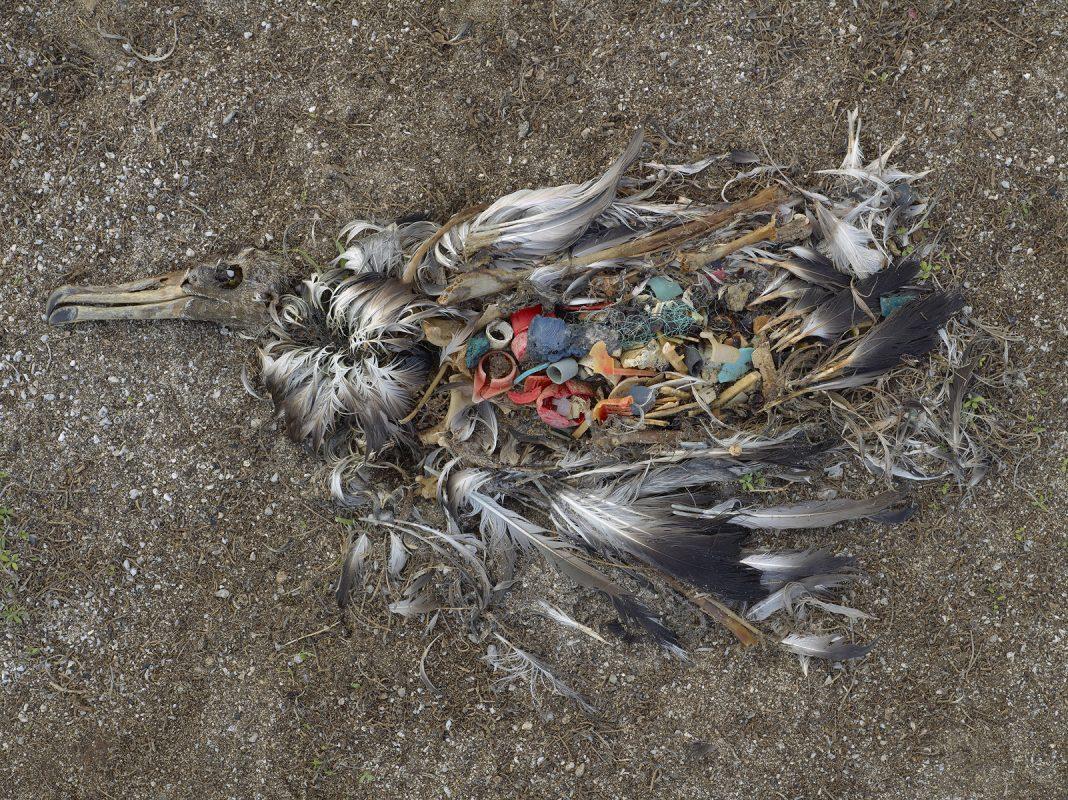 plastic killed seabirds