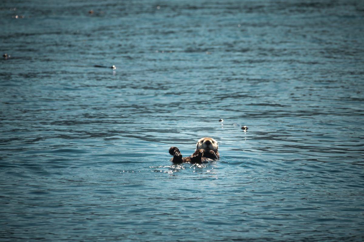 sea otters endangered