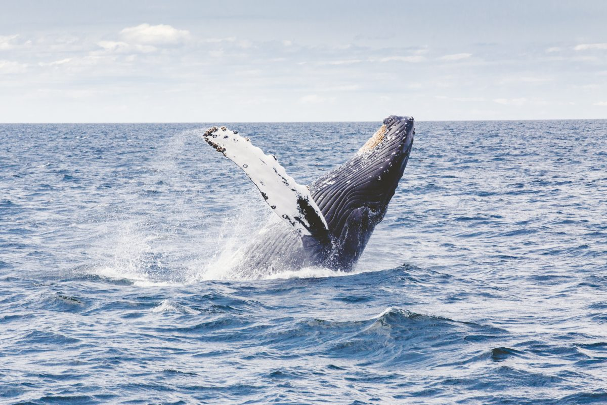humpback whale endangered