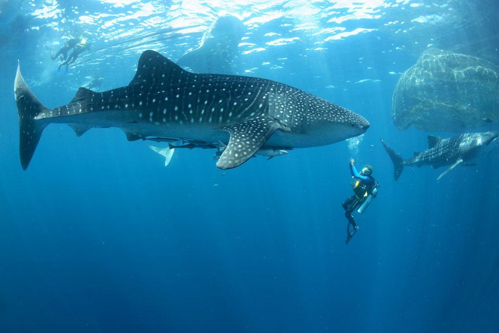 whale shark diving shot