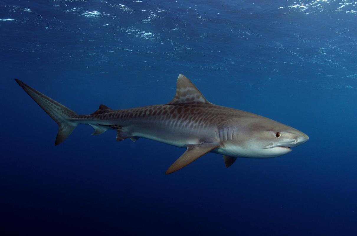 baby tiger shark , juvenile tiger shark
