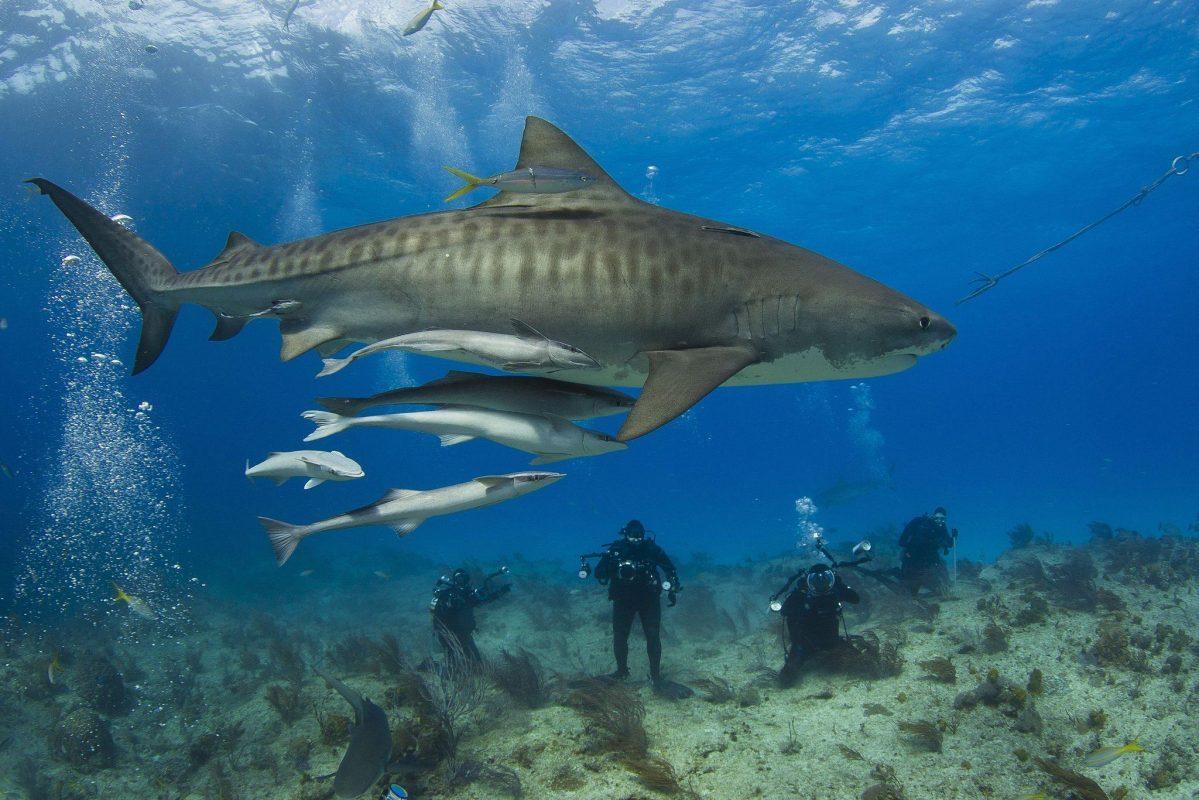 incredible tiger shark fact