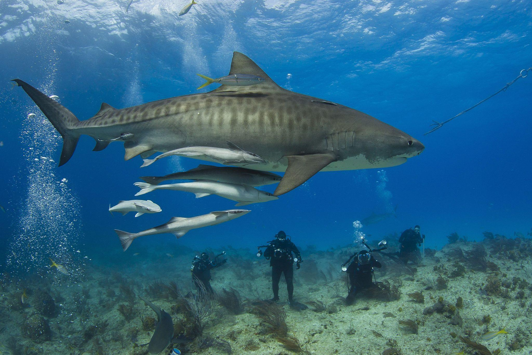 20 Facts You Didn T Know About Tiger Sharks Passport Ocean