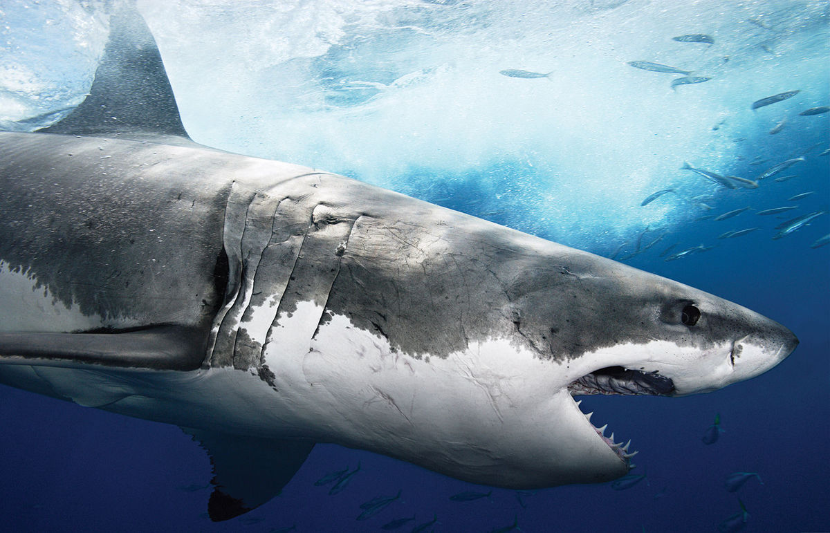 white shark facts