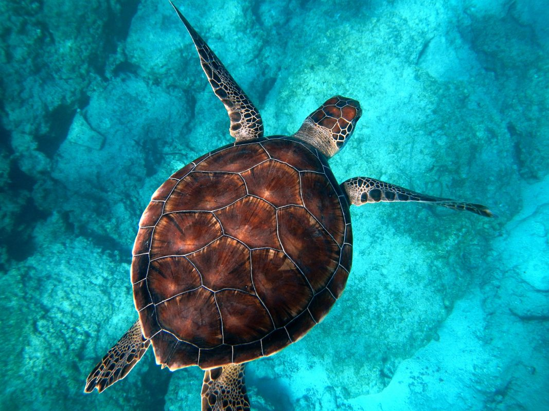 amazing-sea-turtle-facts