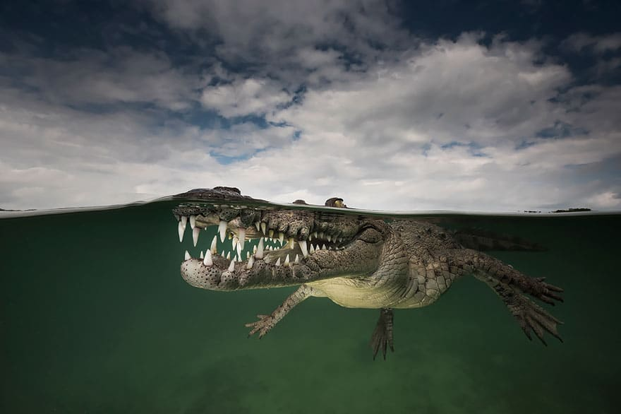 crocodile Half underwater picture