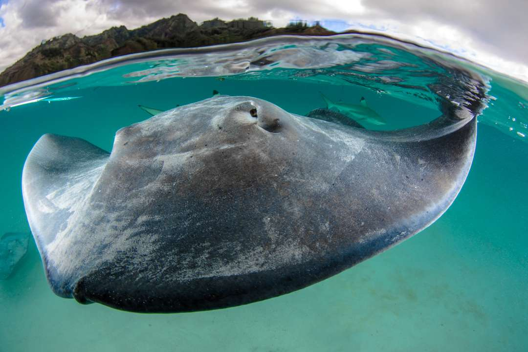 sting ray half underwater picture