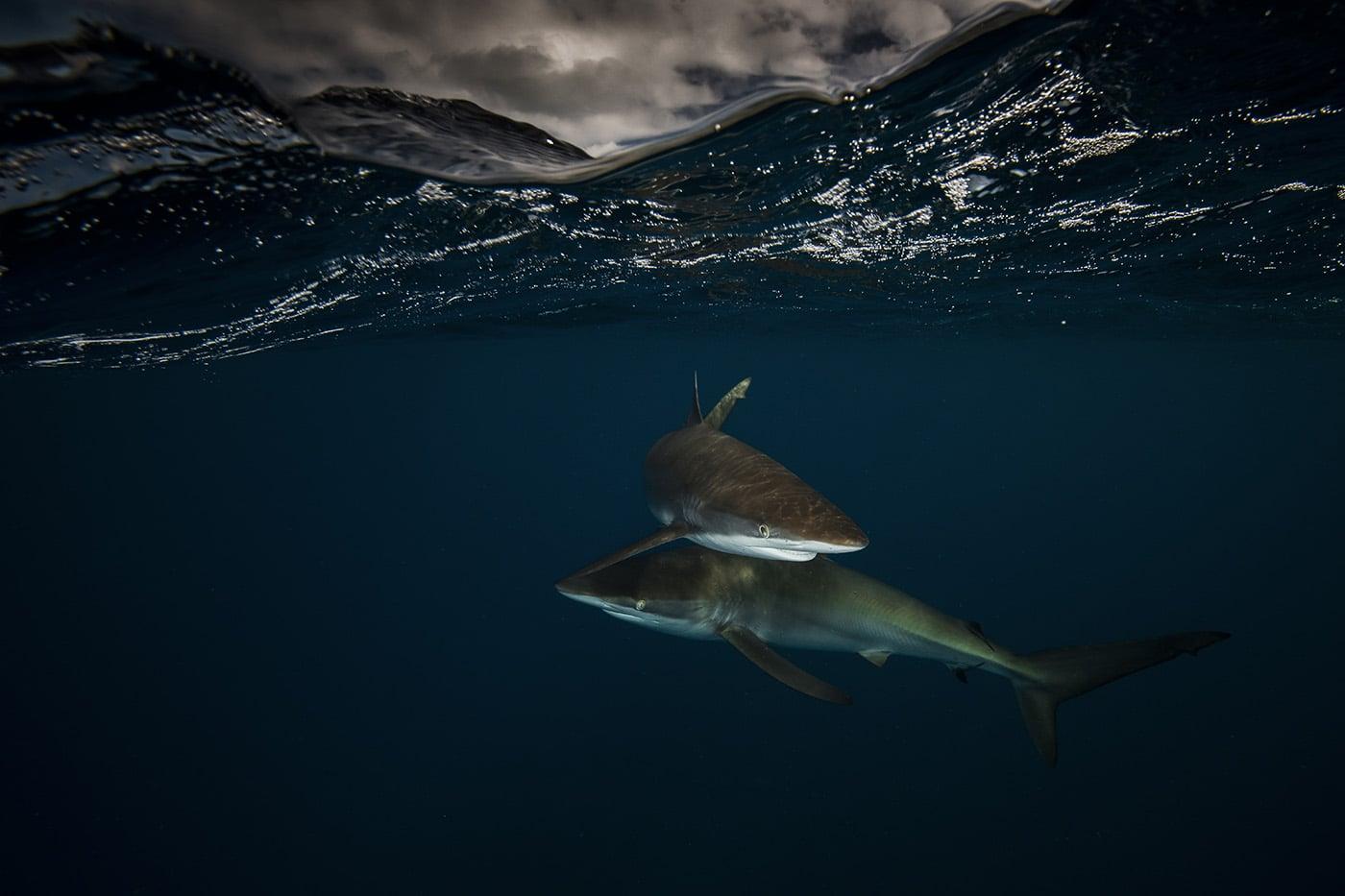 sharks half underwater picture