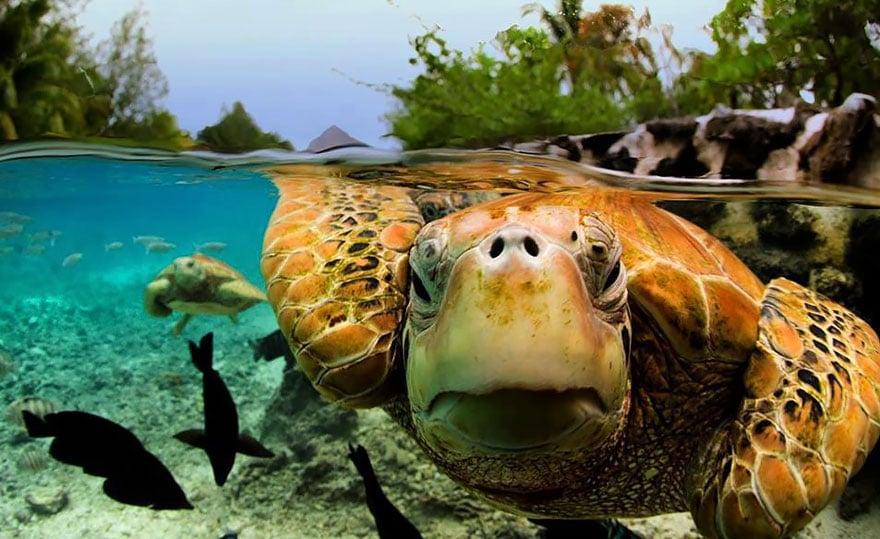 turtle Half underwater picture