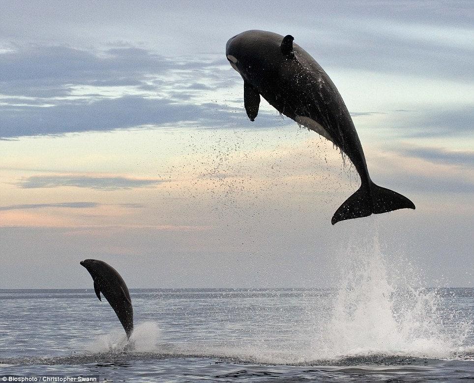 fact orcas