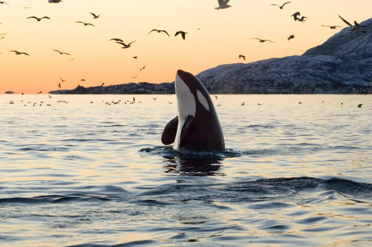 facts about Orcas