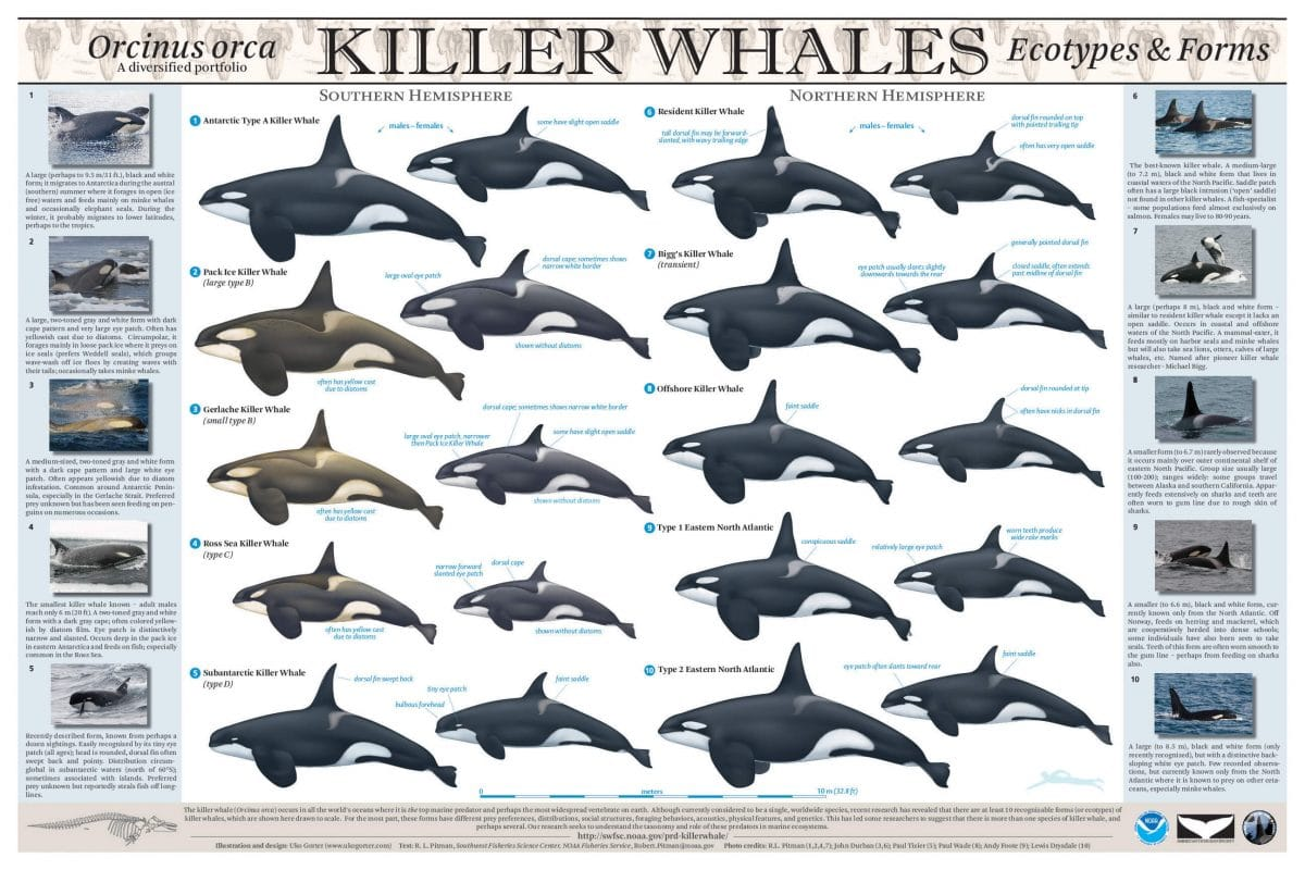 Facts about Orcas : different types of Orcas