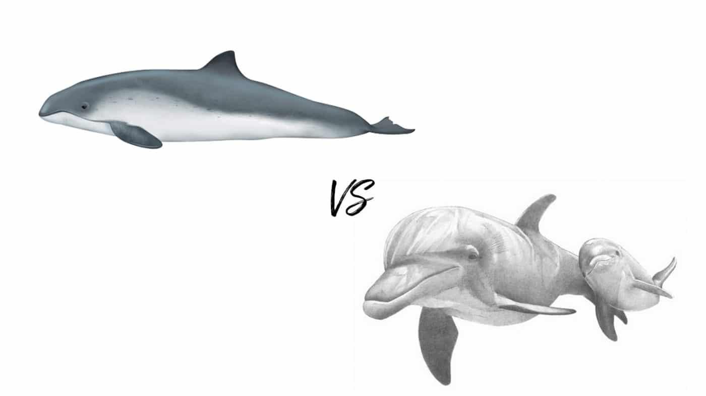 Dolphin vs Porpoise
