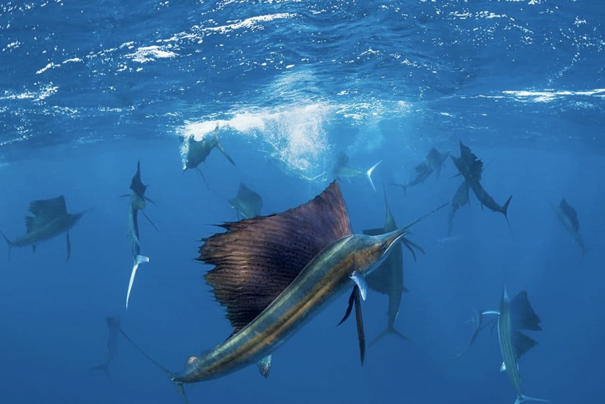 Sailfish - The fastest animal in the Sea