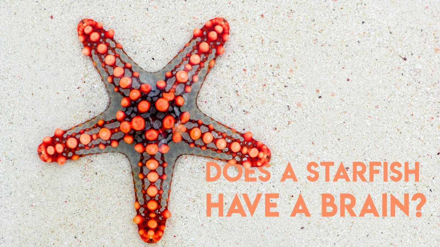 Starfish Brain