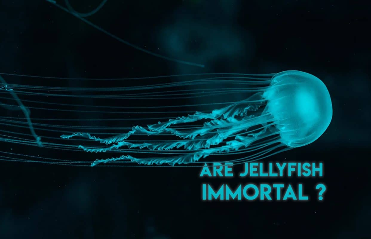 Are Jellyfish Immortal ?
