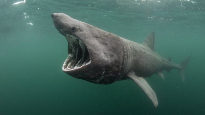 Basking sharks are the second biggest sharks in the world
