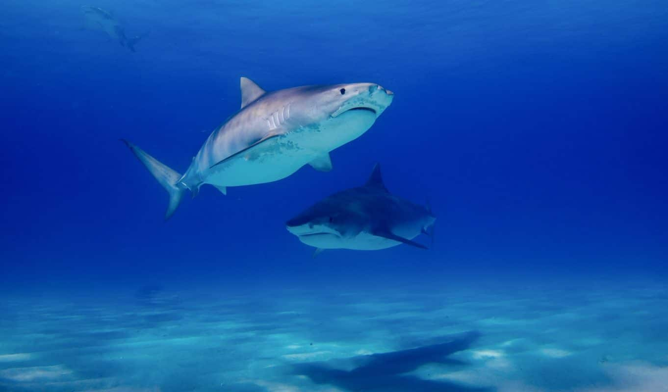 Tiger Shark, one of the biggest shark species