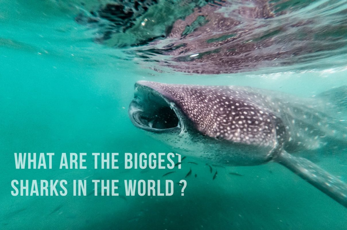 What are the biggest shark in the world ?