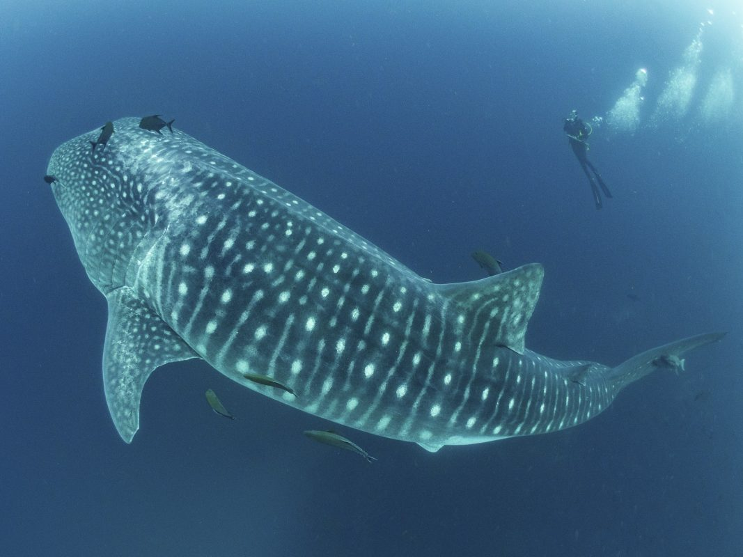 The Whale shark, the biggest shark in the world
