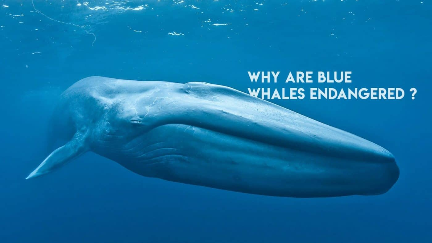 Why are blue whales endangered