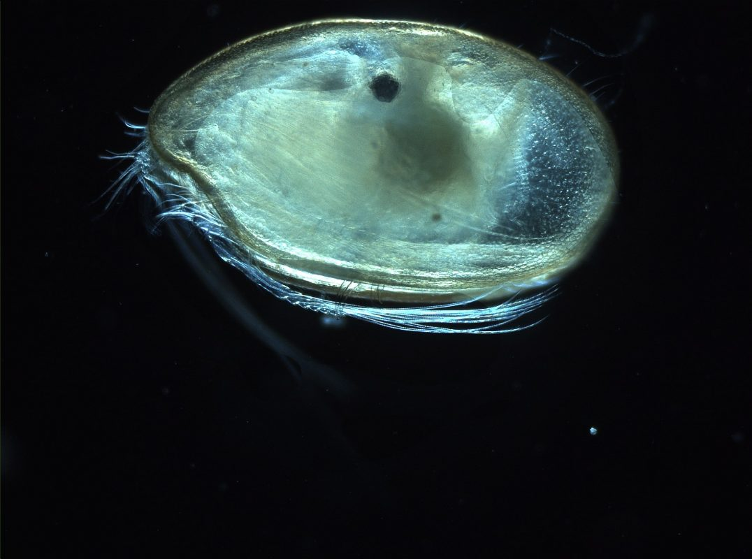 Ostracodes - 10 Fascinating Creatures Of The Deep