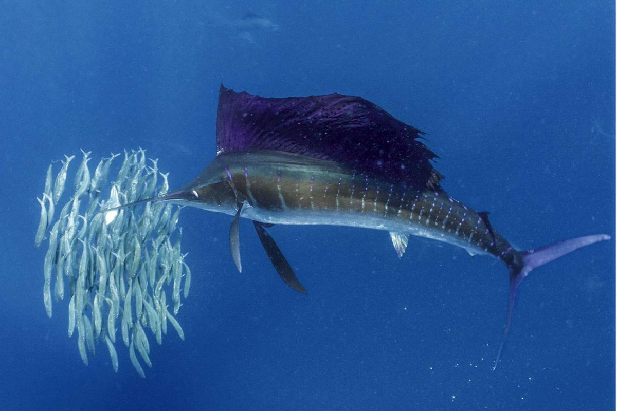 Sailfish is the fastest animal in the Sea