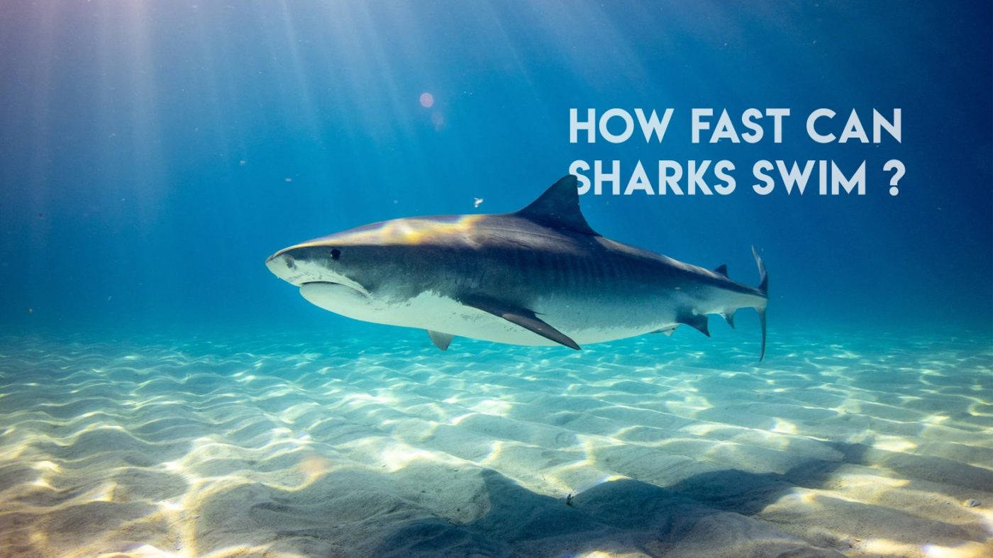How Fast Can Sharks Swim ?