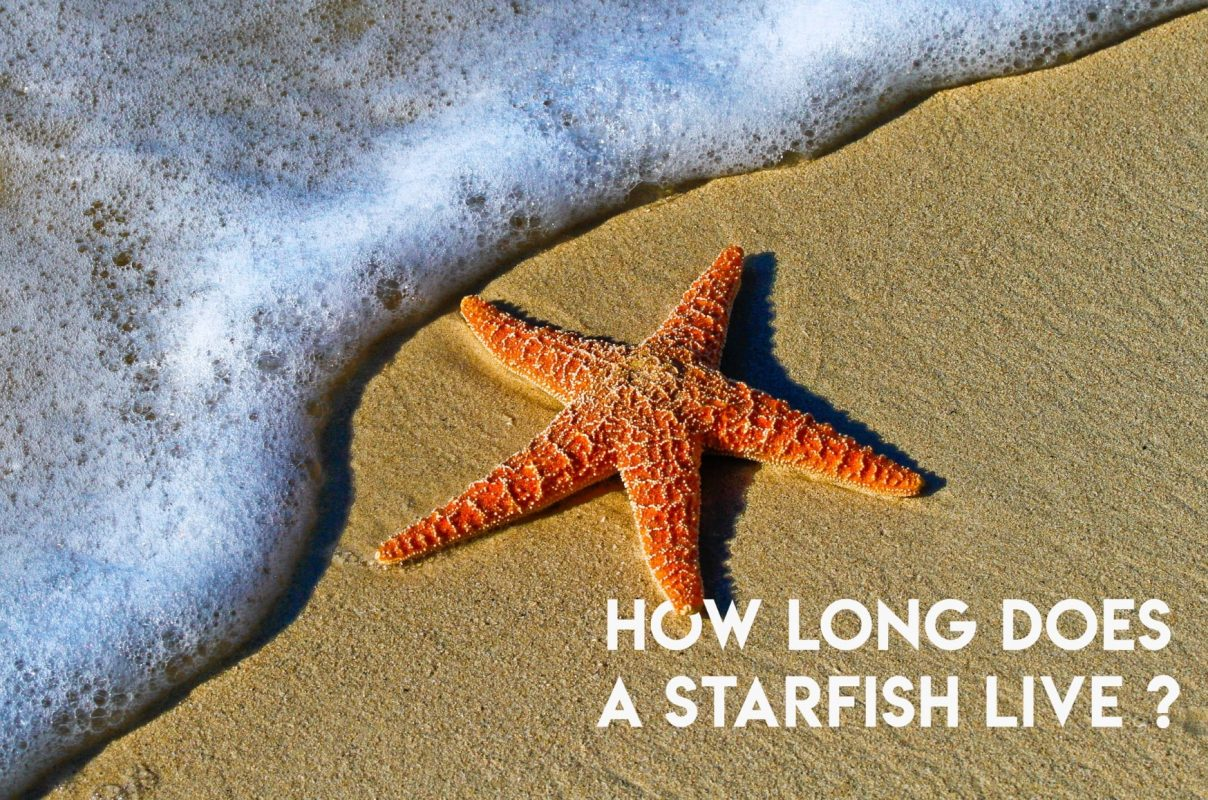 How long does a starfish live ?