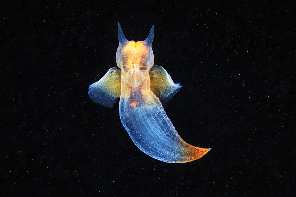 Sea butterfly is an incredibly beautiful creature of the Deep sea