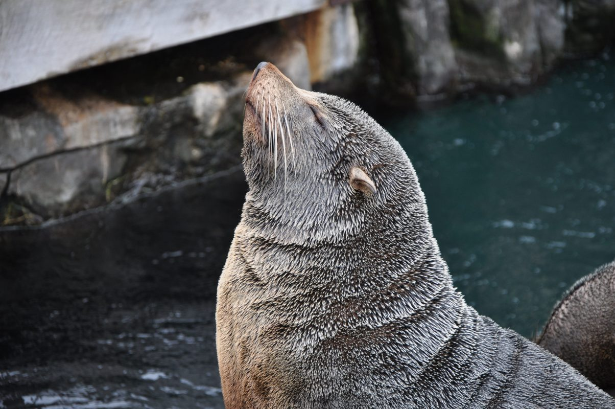 Differences between seal and sea lions