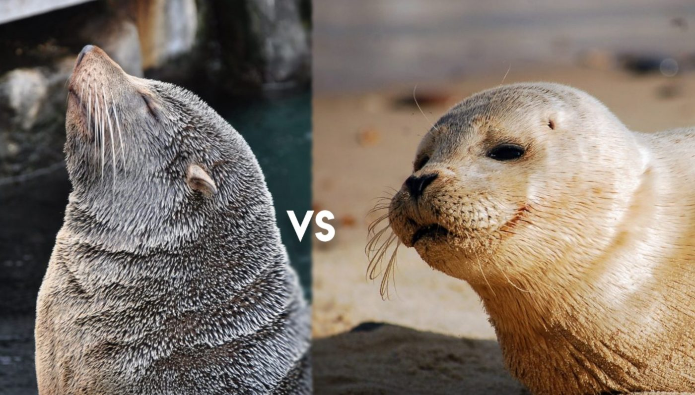 Seal vs Sea lions : the differences
