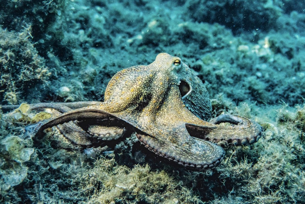 What Do Octopuses Eat ?