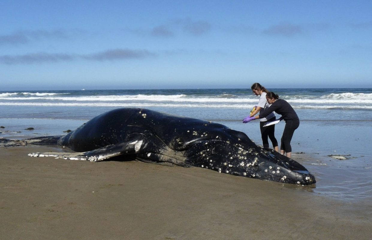 Why Do Whales Beach Themselves